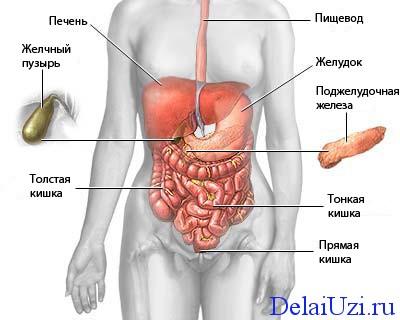 обследуемые орган при УЗИ брюшной полости